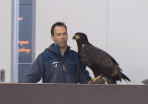 Netherlands - Eagles Trained To Catch Drones (1)