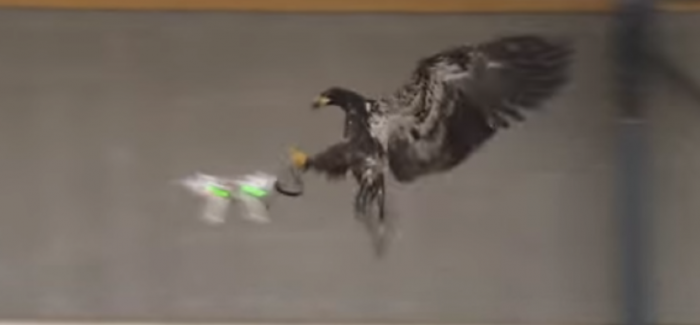 Netherlands – Eagles Trained To Catch Drones – Video