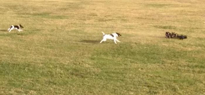 Two Dogs vs RC Car – Video